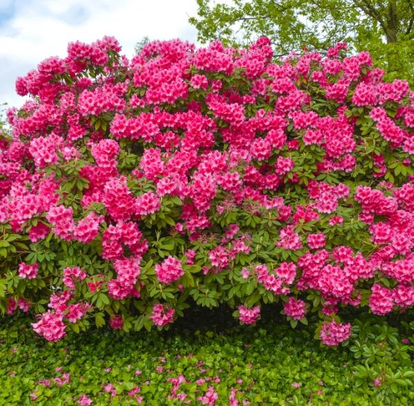 Arbustos de flor consejos de jardiner a para arbustos en flor kb jardin - Arbustos de jardin ...